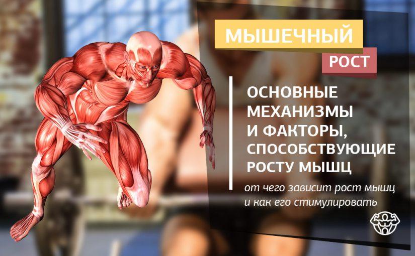 Мышечный рост и механизмы способствующие этому